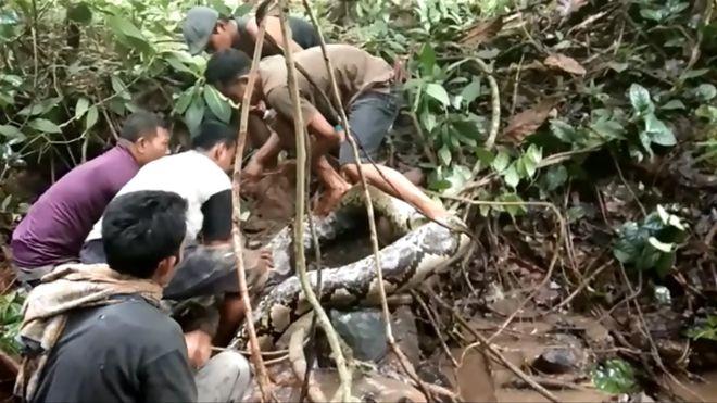 7公尺长的蟒蛇最后被生擒。