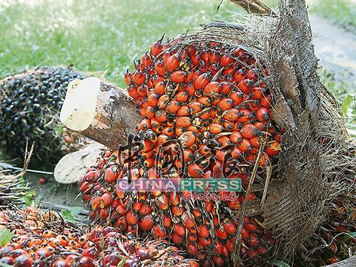 对于辛勤的农人,植物给予很好的回馈,但因价格低迷,却成了甜美的负担。