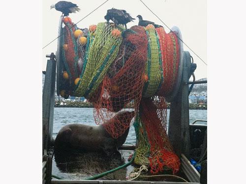 这只海狮差点把整理渔网的渔民拖入水中。