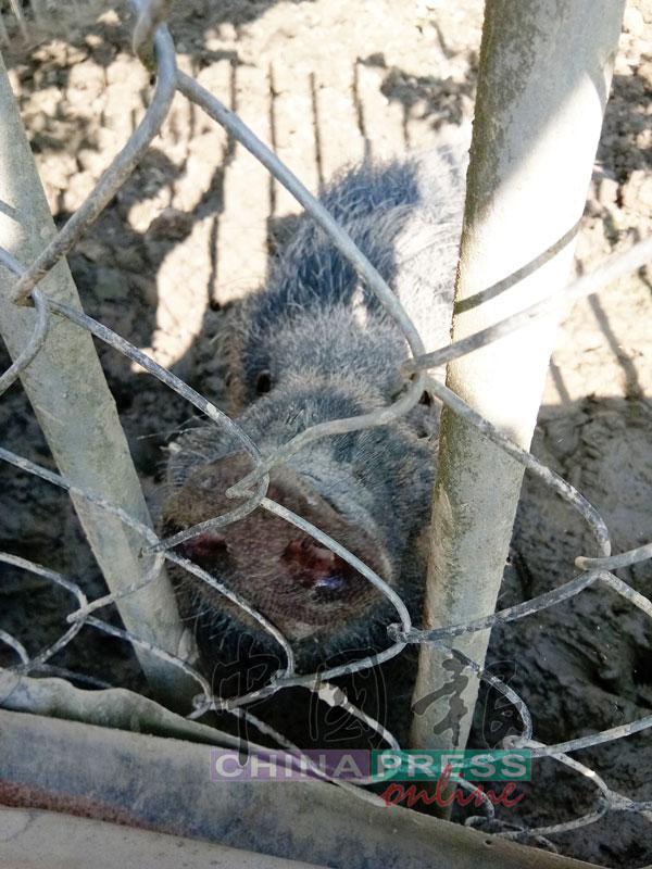 毛茸茸的山猪很可爱。