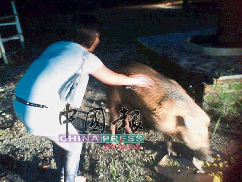 摸山猪当年掀起热潮,后来因引起争议后而被禁止。