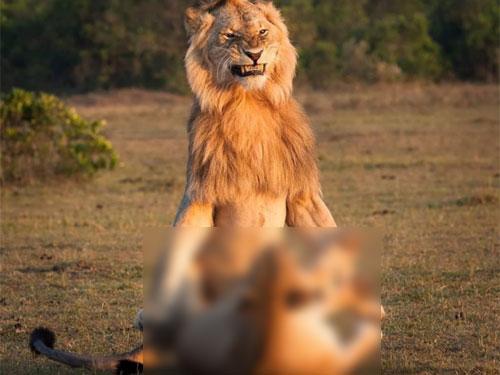 不是开玩笑,狮子偶尔也会学人类那般传教……