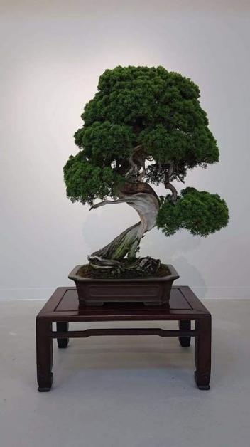 日本盆景大师饭村诚史一棵超过400年的珍贵盆景上个月失窃。