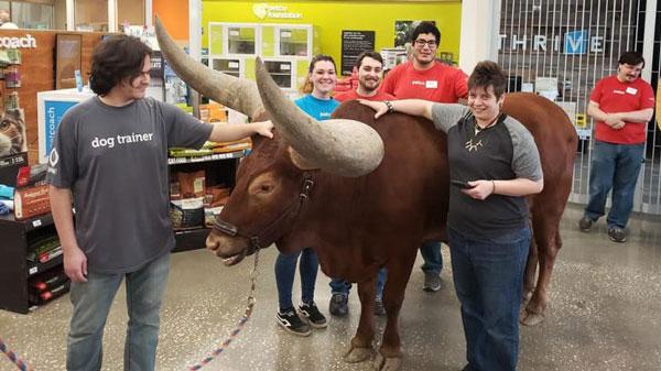 布朗宁和谢利把非洲长角牛带进店内,受到店员热烈欢迎。(面子书)