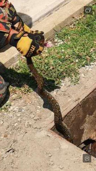 躲藏在屋后化粪池内的蟒蛇,被消拯员手拿擒来。