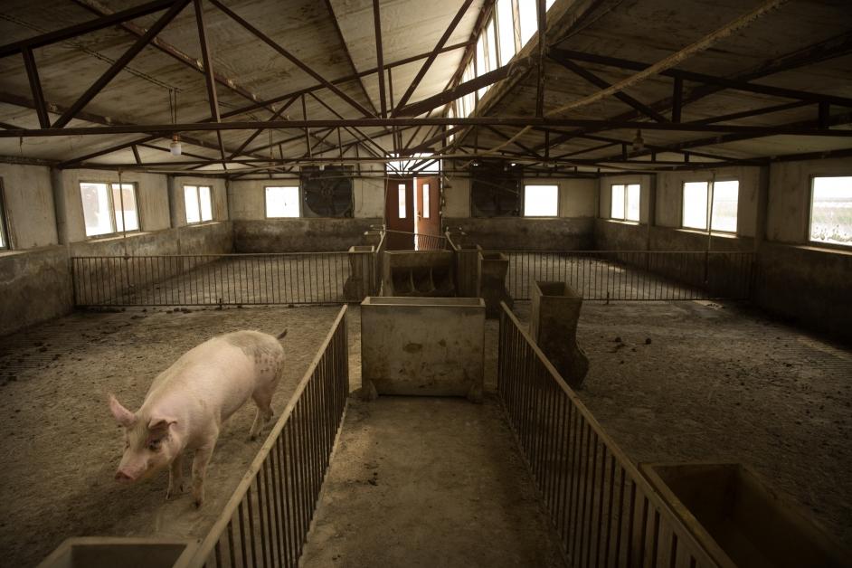 河北省张家桥养猪场几乎是空的。