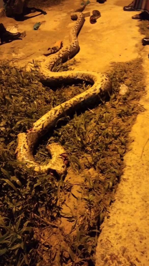 大蟒蛇被砍数段。