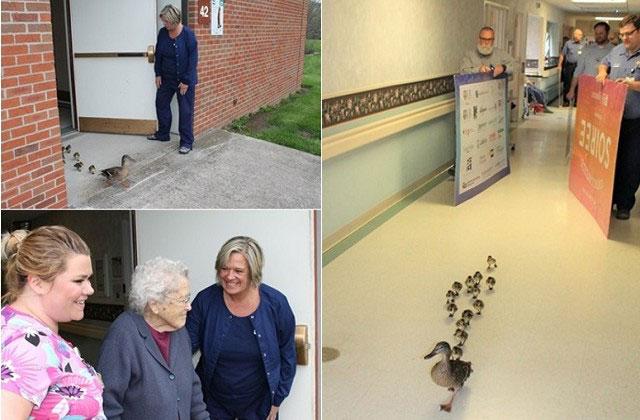 """美国纽约州北部的1只母鸭,每年春天都会带新生的小鸭,进入位于卡南代瓜(Canandaigua)的1家安养中心""""探望""""阿公阿嬷们。"""
