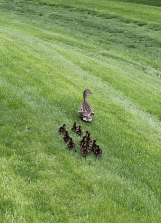 去这几年以来,这只母鸭都会在安养中心的后院产卵,然后孵化小鸭。