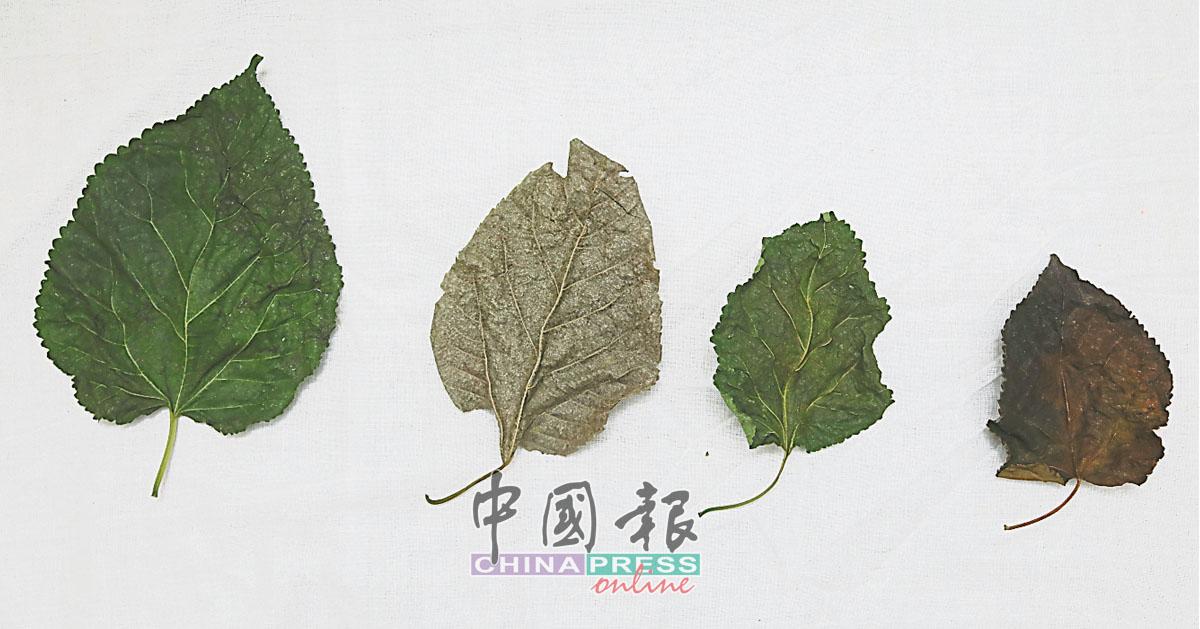 """(左起)大十桑椹、台湾长桑、韩国大白玉和长白桑。不同国家所种植的桑树品种不一, 大十桑椹是李明翰于中国购得,而长白桑的英文名为""""Himalayah Long White Mulberry""""。"""