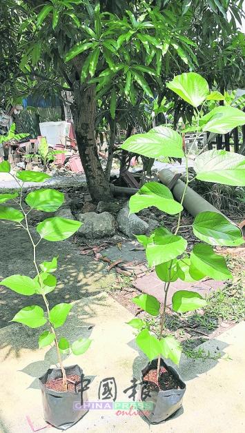 由于大马桑树都是母树,因此,只能用插枝法繁殖,不能用果实内的种子(如辣椒)繁殖。国外的桑树品种则无法用插枝繁殖,成功率不到5%。