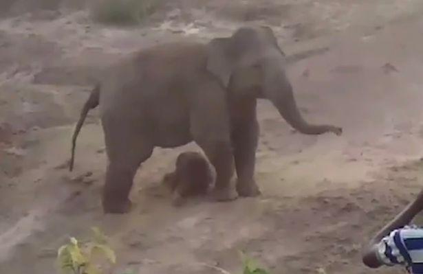 母象保护着未能站立的初生小象。