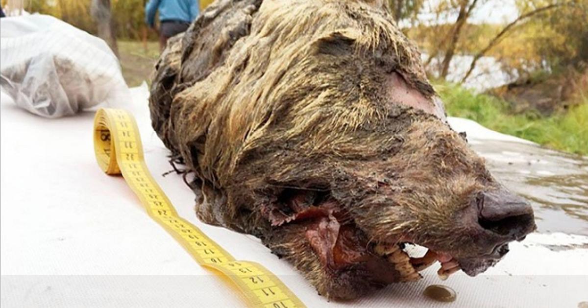 西伯利亚东部萨哈第区,2018年出土一颗在永冻层下冰封了4万年的狼头,不但脑部、毛发和牙齿都还保持完整,尺寸更是现今灰狼一倍大。(《西伯利亚时报》)