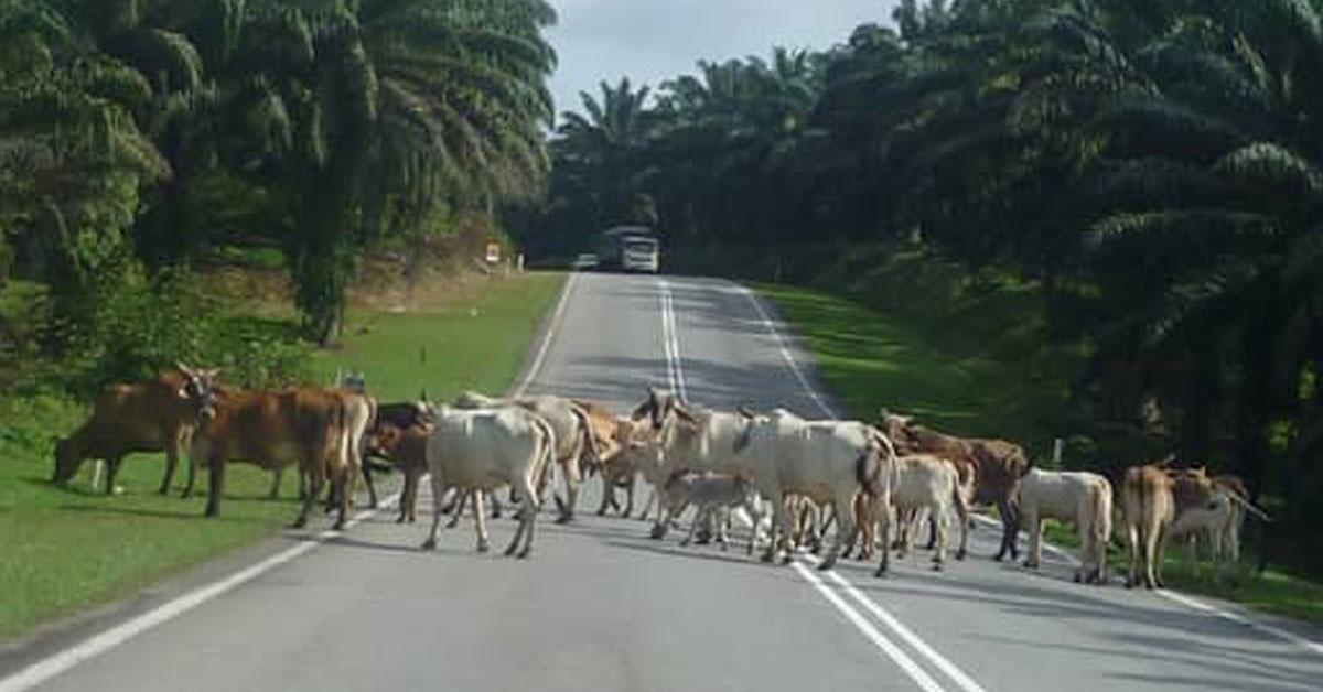 曼绒区牛群游荡情况,威胁公路使用者的安全。(市议员提供)