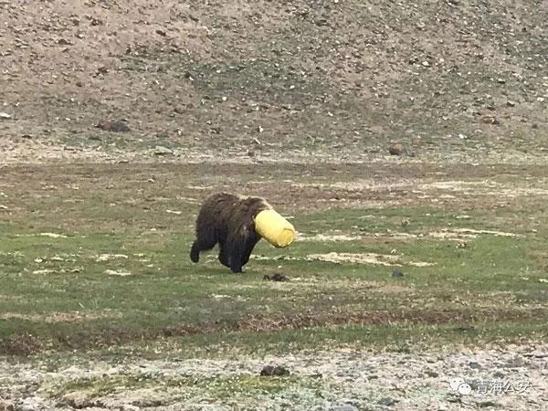 棕熊将头伸进塑料桶内觅食,无法拔出。