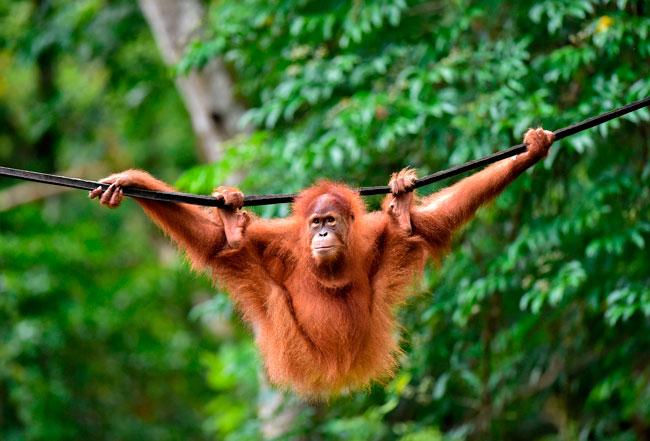 印尼野生动物保护组织人员周二将人猿放生,让它们回归森林。(法新社)