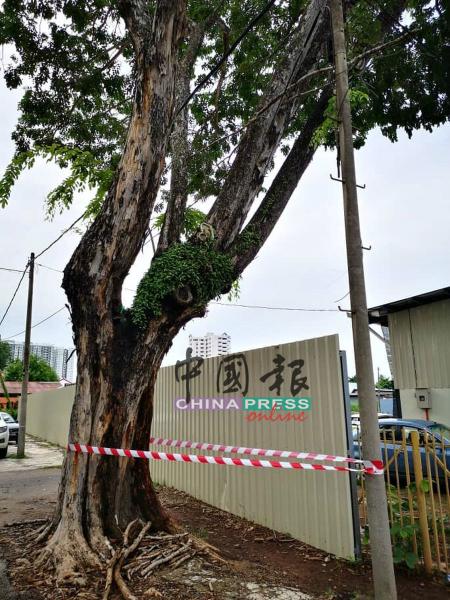 马六甲华文国民型中学外的一棵大树,相信是倾斜不安全,因此拉上警戒线,避免学生靠近。