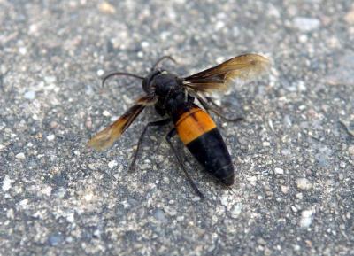 虎头蜂毒性发作极快,郭来成事发后出现头晕目眩、呼吸困难等症状。(档案照)