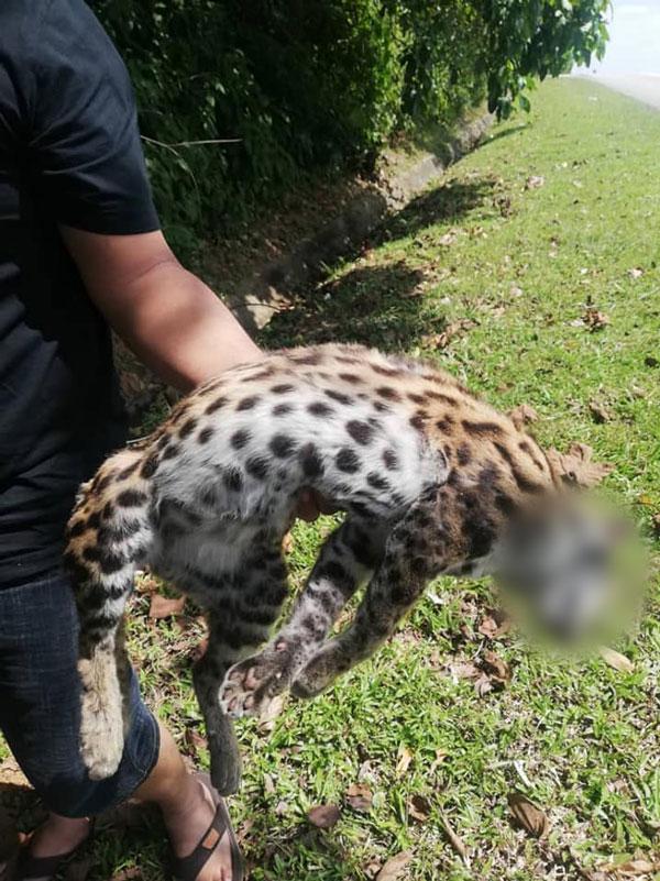 豹猫疑外出觅食时,不幸被车撞死。