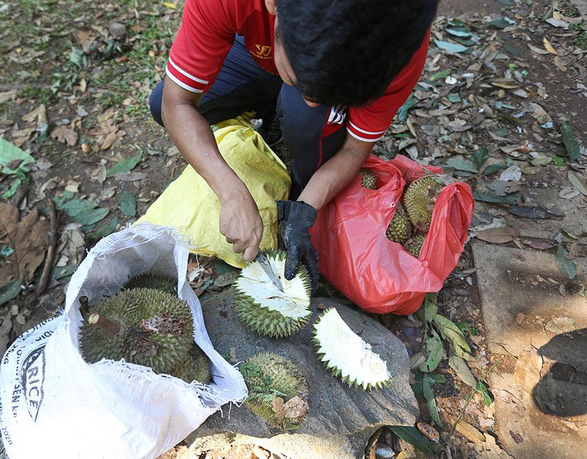 来自尼泊尔的外籍员工趁工作假日到乌敏岛捡榴梿,他们自带小刀在现场开榴梿品尝一番。