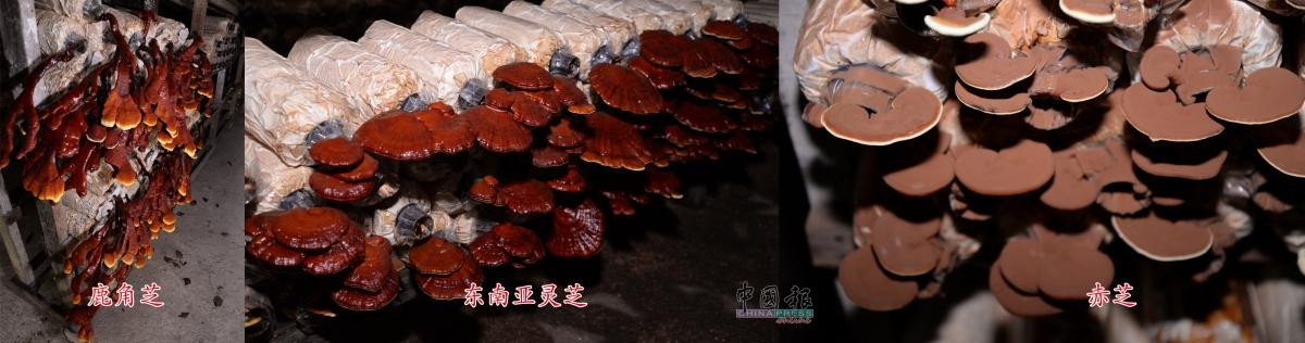 东南亚灵芝、鹿角芝和赤芝,跑菌须四五十天,出菇约二十多天即可收成。赤芝外层有粉末,菇体还有白边就表示还能再长大;灵芝既可作为观赏盆栽也可药用。