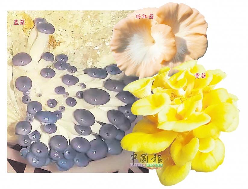 """市面上常见的食用""""灰蚝菇""""以灰白色为主,其实它还有黄、蓝和粉红色,由于这些颜色鲜艳的菇,腥味比较重,因此,多用于休闲农场供游客参观。"""