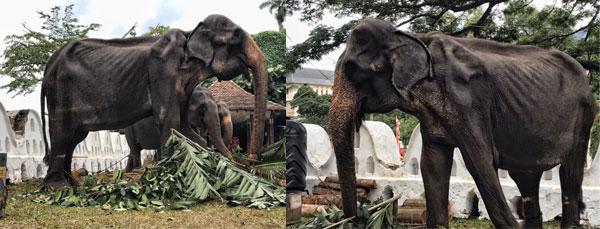 没人想到,在节目上表演的大象,褪去华服后,竟是如此瘦骨如柴。
