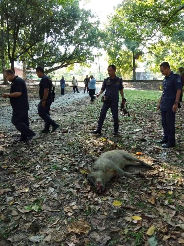 山猪闯入拉律马登及司南马农业局范围,致伤一名农业局职员后,遭太平市议会执法组人员开枪射杀。