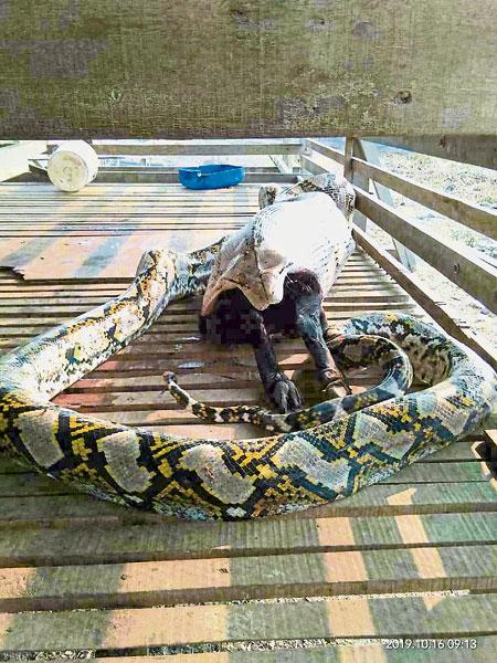 大蟒蛇把整只黑羊吞进肚里。