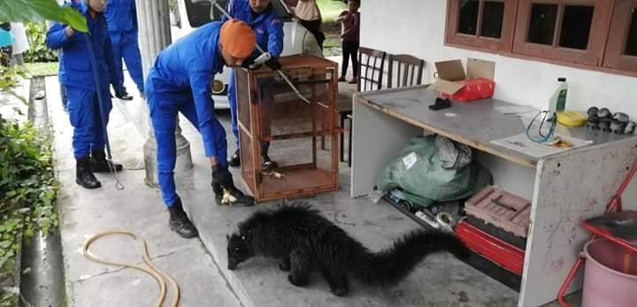 民防局队员以香蕉为饵,吸引熊狸靠近笼子后再将它关进笼子内。(图取自网络)
