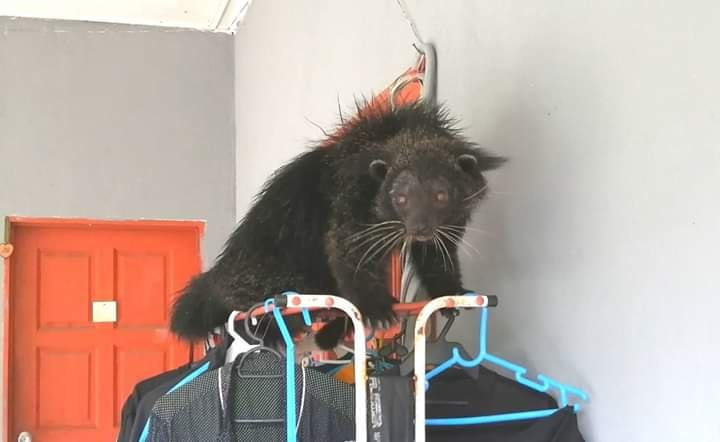 熊狸出没在民众居家院子外,更一度爬上晒衣架。