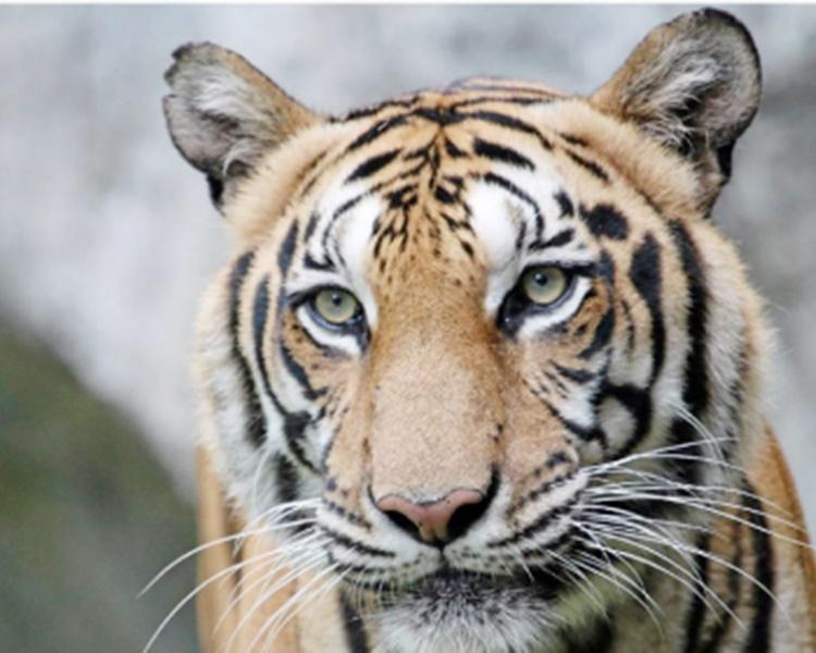 老虎。(示意图)