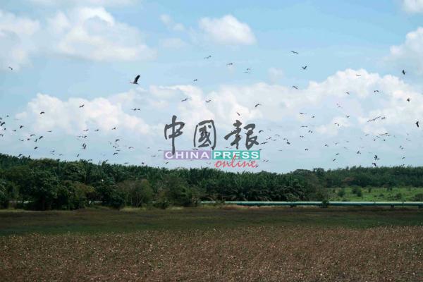 水鸟类失去莲花的掩护,只能在水坝上空盘旋。