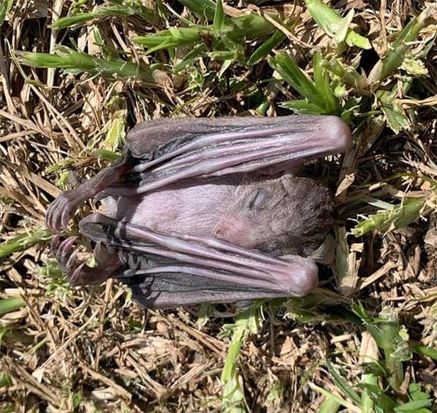 蝙蝠屍體。