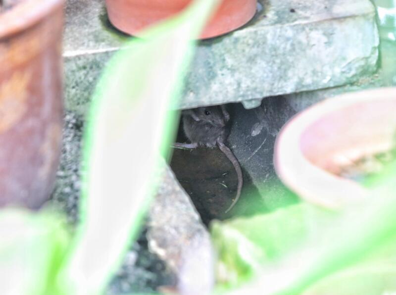 记者走访时,白天都能见到老鼠。