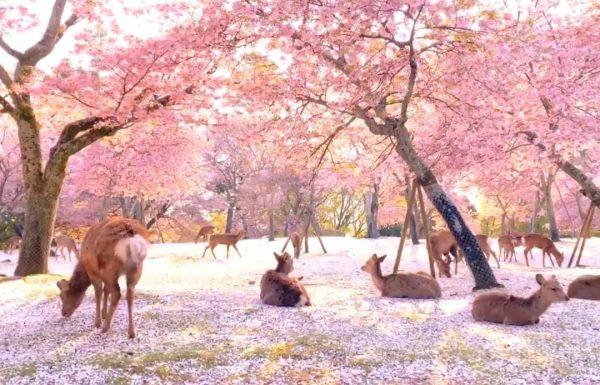 樱花满开加上铺撒在地面的花瓣,堆叠成粉红世界。