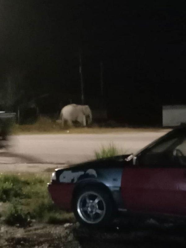 网民远距离拍摄到野象出没。(取自面子书)