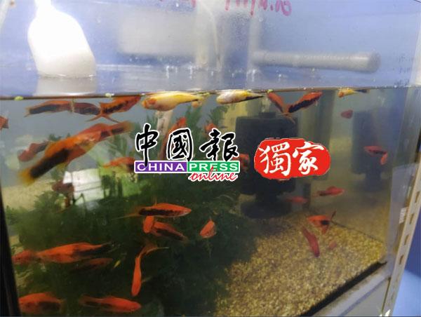 多只观赏鱼缺氧翻肚死亡,业者面临严重损失。