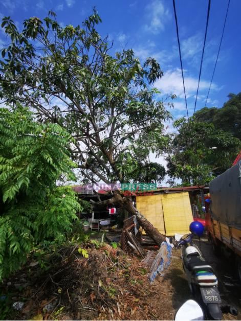 南河村数棵树木不敌狂风暴雨,即将倒下。
