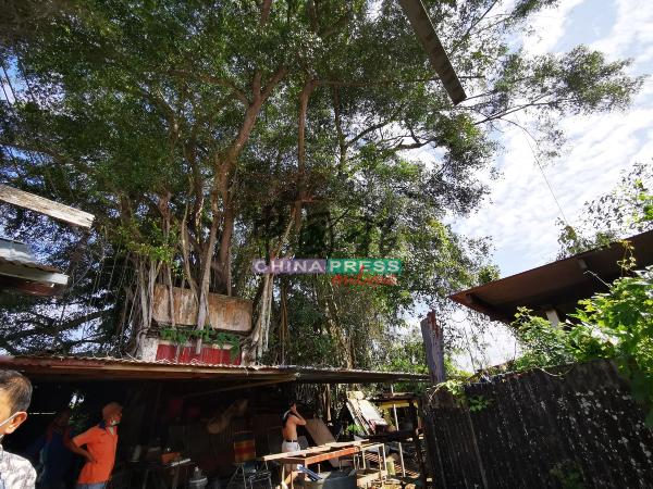 百年老树树桠经暴风雨吹打,树桠从天而降。