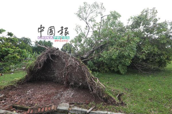 倒塌的树木,可见树根没有扎得很深,仅盘绕于表面,遇上狂风很容易就会被吹到。