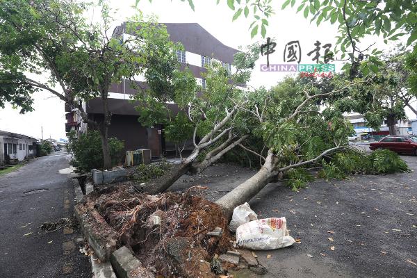 玛琳商业区数颗大树无法抵挡大风吹,宣告倒塌。