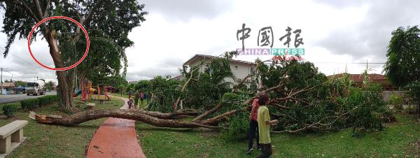 浮罗加东大路旁大树巨大树干断裂(红圈),横躺在住宅区休闲场所上。