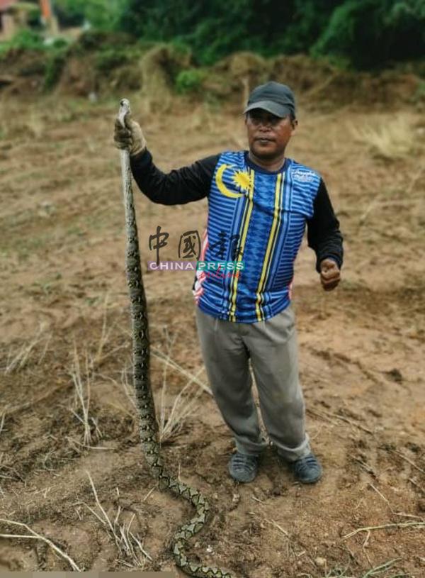 清理丛林的员工,一手抓起他发现的其中一条蟒蛇。
