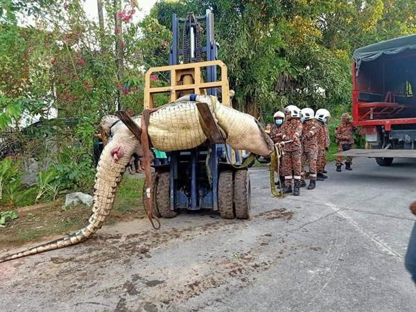 消拯员出动叉车(Forklift)才成功将鳄鱼带走。