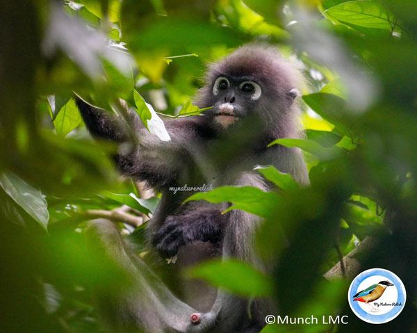 """被刘先生拍摄到的猴子眼睛处有两个显著的白色圆框,像是戴着一副眼镜,这类猴子也被称为""""眼镜叶猴""""。(受访者提供)"""