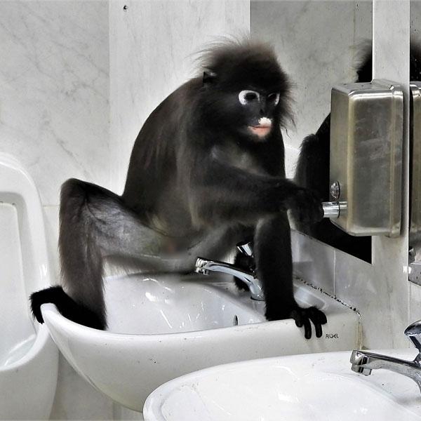"""如厕后,精灵的眼镜叶猴还用手按皂液器""""洗手""""。(受访者提供)"""