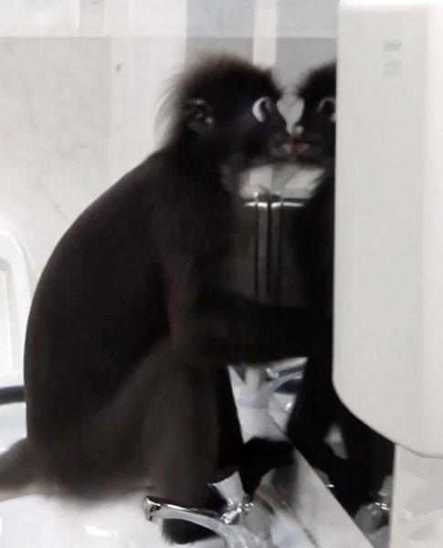 上完厕所后,眼镜叶猴往镜子中的倒影亲了一下,非常逗趣。(受访者提供)