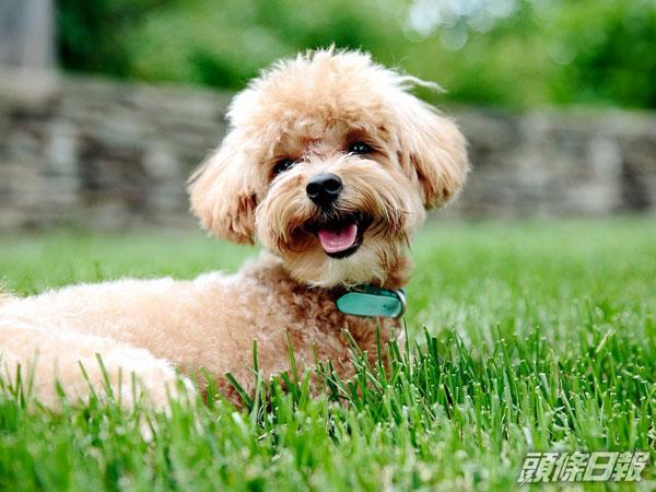 香港荃湾一直贵宾狗,对新冠病毒测试呈阳性反应。
