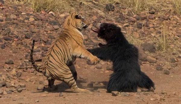"""印度一名摄影师近日在托多巴安达里老虎保育区内,惊见一场熊与老虎的""""世纪大对决""""。"""